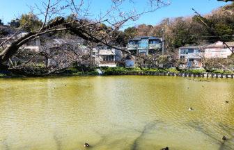 【大船】さくらのつぼみと亀たちの集会 in 谷戸池